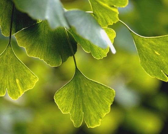 Ginkgo Biloba Extrakt aus Blätter