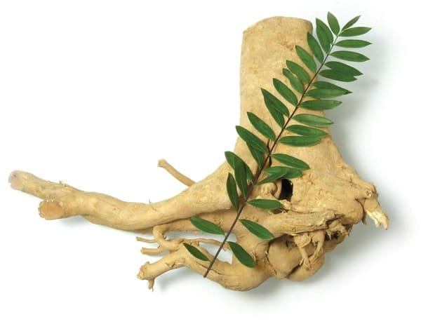 Tongkat Ali Wurzel Pflanze