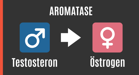 Tongkat Ali als Aromatasehemmer mit Testosteron zu Östrogen