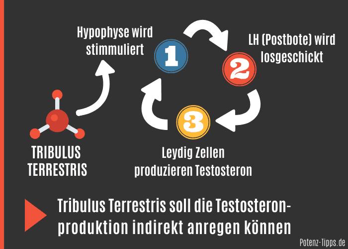 Tribulus Terrestris steigert Testosteron