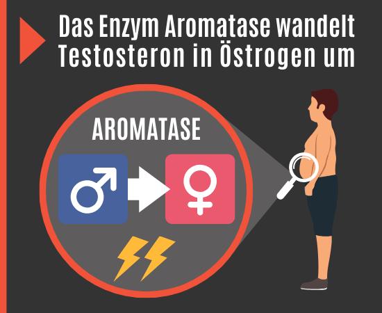 Aromatase wandelt Testosteron in Östrogen