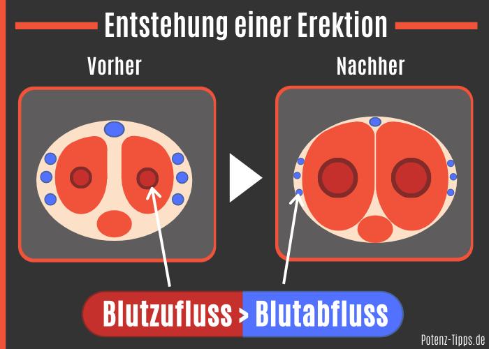 Entstehung einer Erektion ohne Penisring