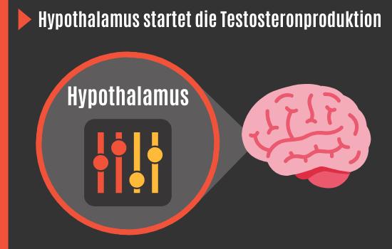 Testosteronproduktion startet im Hypothalamus