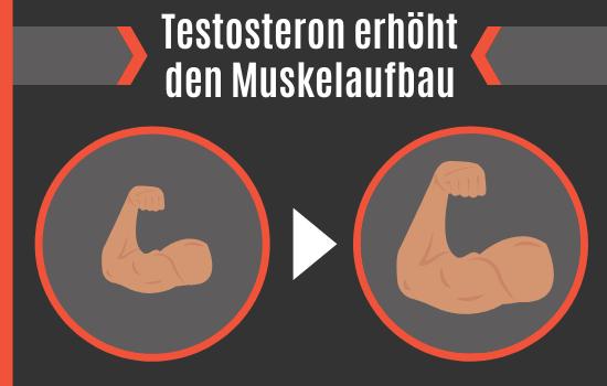 Testosteron erhöht den Muskelaufbau