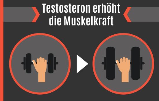 Testosteron erhöht die Muskelkraft