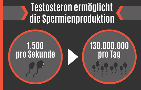 Testosteron ermöglicht die Spermienproduktion