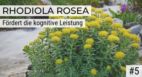 Rhodiola Rosea fördert die kognitive Leistung
