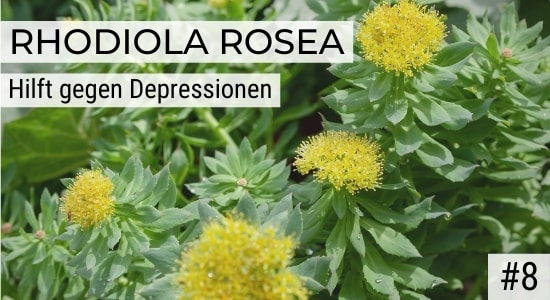 Rhodiola Rosea hilft gegen Depressionen