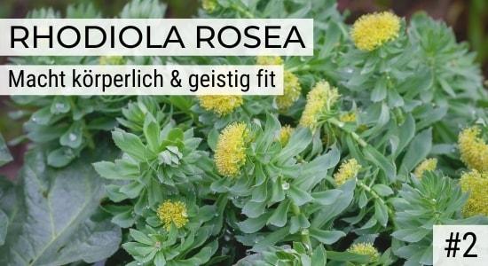 Rhodiola Rosea macht körperlich & geistig fit