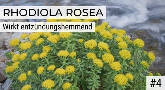 Rhodiola Rosea wirkt entzündungshemmend
