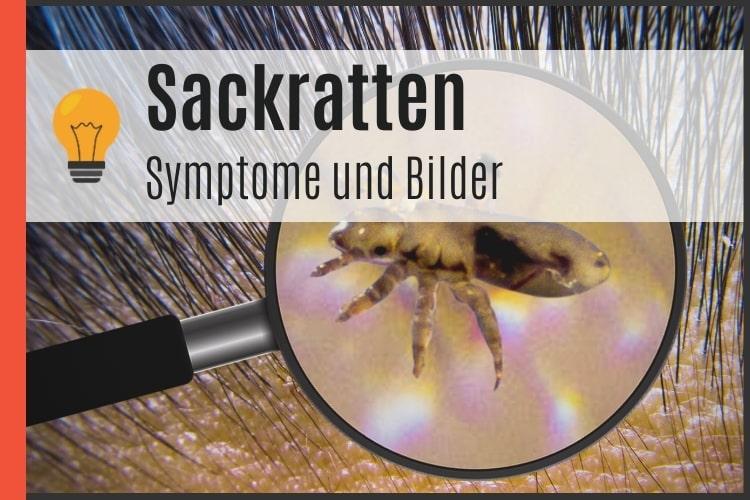 Sackratten | Symptome, Soforthilfe + Bilder [2021] - Potenz-Tipps
