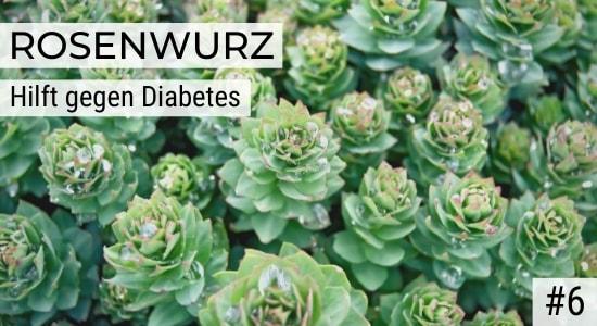 Rosenwurz hilft gegen Diabetes