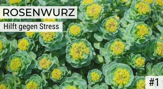 Rosenwurz hilft gegen Stress
